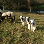 Jacob sheep at Butterwell Farm