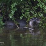 otters in Cornwall