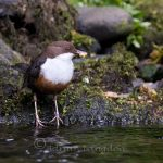 Dippers feeding on the River Camel