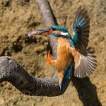 River Camel Cornwall Wildlife Kingfisher feeding