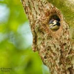 woodpeckers in Cornwall