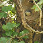 nuthatch bird nature Cornwall
