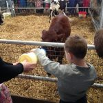 Bottle-feeding-calves-dairyland-farmworld-cornwall