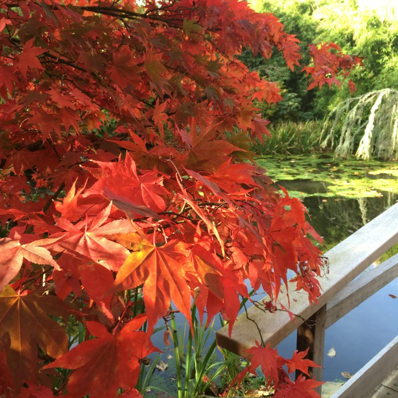 Japanese maple tress in Autumn