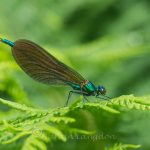 Dragonflies and other insects native to Cornwall