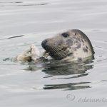 Seals off the Cornish Coast