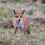 Fox wildlife natural beauty