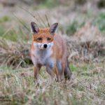 Fox wildlife natural beauty