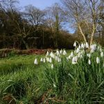 snowdrop walks in Cornwall