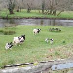 flock of Jacobs Cornwall