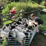 Jacob sheep flock cornwall